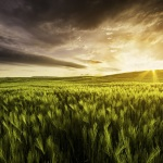 Very Atmospheric View Of A Wheat Field At Sunset With Dramatic S